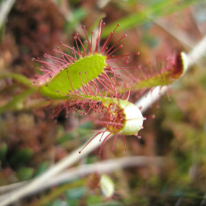 Photographie n°2411864 du taxon Drosera anglica Huds. [1778]
