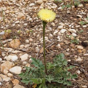 Urospermum dalechampii (L.) Scop. ex F.W.Schmidt (Urosperme de Daléchamps)