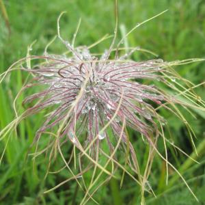 Photographie n°2411997 du taxon Pulsatilla scherfelii (Ullep.) Skalicky [1985]
