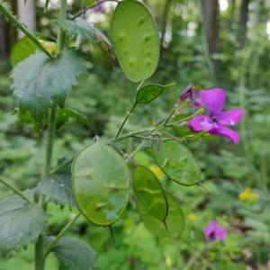 Photographie n°2412010 du taxon Lunaria annua L. [1753]