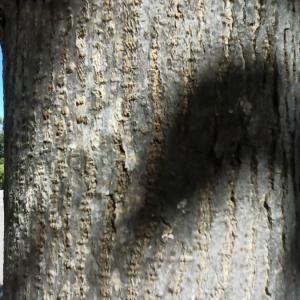 Photographie n°2412455 du taxon Morus alba L. [1753]