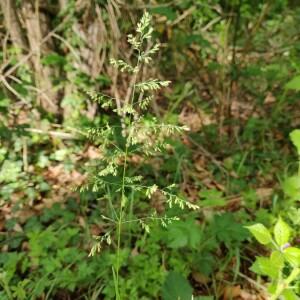 Photographie n°2412616 du taxon Poa palustris L. [1759]