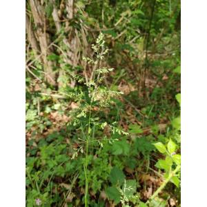 Poa palustris subsp. xerotica Chrtek & V.Jirásek (Pâturin des marais)