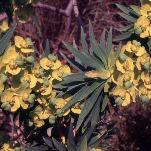 Photographie n°2412831 du taxon Euphorbia dendroides L. [1753]