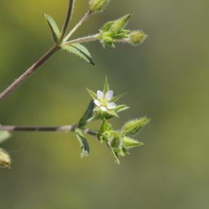 - Arenaria serpyllifolia L. [1753]