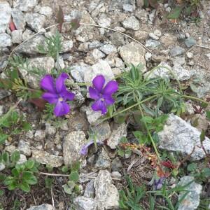 Photographie n°2413018 du taxon Viola valderia All. [1785]