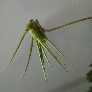 Photographie n°2413174 du taxon Erodium moschatum (L.) L'Hér. [1789]