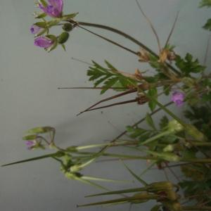Photographie n°2413175 du taxon Erodium moschatum (L.) L'Hér. [1789]