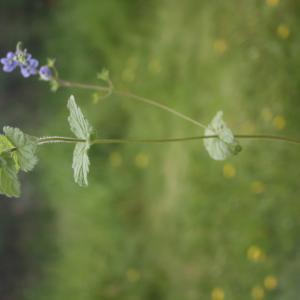Photographie n°2413177 du taxon Veronica chamaedrys L.
