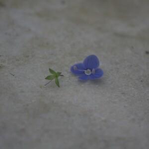 Photographie n°2413178 du taxon Veronica chamaedrys L.