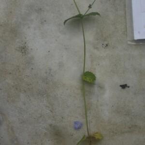 Photographie n°2413179 du taxon Veronica chamaedrys L.