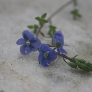 Photographie n°2413181 du taxon Veronica chamaedrys L.