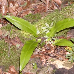 Photographie n°2413279 du taxon Asplenium scolopendrium L. [1753]