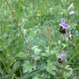 Photographie n°2413316 du taxon Ophrys fuciflora (F.W.Schmidt) Moench [1802]