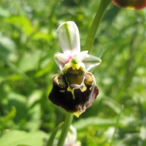 Photographie n°2413317 du taxon Ophrys fuciflora (F.W.Schmidt) Moench [1802]