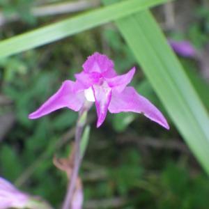 Photographie n°2413425 du taxon Cephalanthera rubra (L.) Rich. [1817]