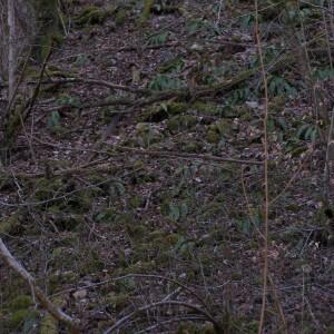 Photographie n°2413456 du taxon Asplenium scolopendrium L. [1753]