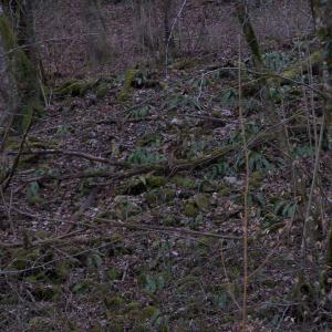 Photographie n°2413457 du taxon Asplenium scolopendrium L. [1753]