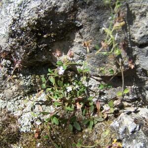Photographie n°2413594 du taxon Chaenorhinum rubrifolium (Robill. & Castagne ex DC.) Fourr. [1869]