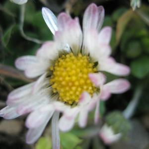 Photographie n°2413781 du taxon Bellis perennis L. [1753]