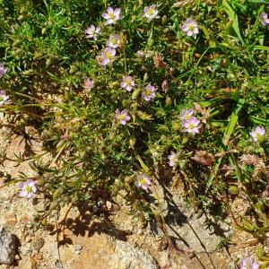 Photographie n°2414245 du taxon Spergularia rubra (L.) J.Presl & C.Presl [1819]