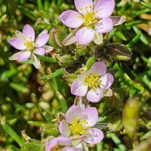 - Spergularia rubra (L.) J.Presl & C.Presl [1819]