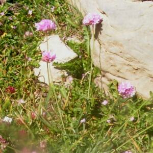 Photographie n°2414705 du taxon Armeria alpina Willd. [1809]