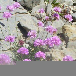 Photographie n°2414706 du taxon Armeria alpina Willd. [1809]