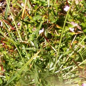 Photographie n°2414707 du taxon Armeria alpina Willd. [1809]