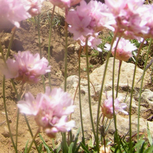 Photographie n°2414729 du taxon Armeria alpina Willd. [1809]