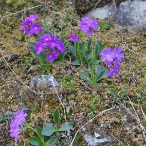 Primula viscosa subsp. pedemontana (Gaudin) Arcang. (Primevère du Piémont)