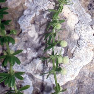 Photographie n°2415212 du taxon Galium verrucosum Huds. [1767]