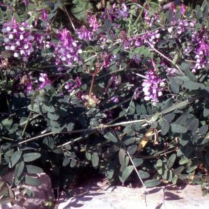 Photographie n°2415240 du taxon Vicia villosa subsp. varia (Host) Corb. [1894]