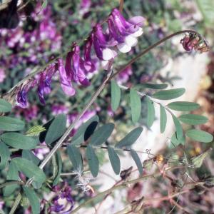 Photographie n°2415241 du taxon Vicia villosa subsp. varia (Host) Corb. [1894]