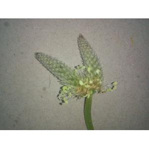 Plantago lanceolata var. mediterranea (A.Kern.) Pilg. [1937]