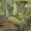 Lindernia crustacea (L.) F. Muell. [nn92081] par Antoine Berton le 05/05/2020 - Cacao