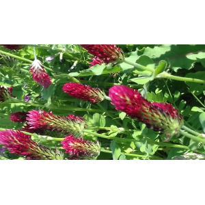 Trifolium incarnatum L. var. incarnatum (Trèfle du Rousillon)