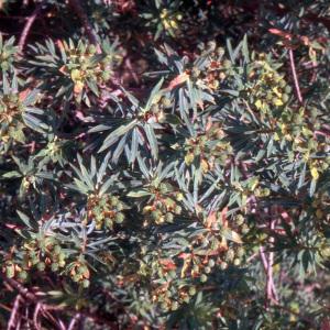 Euphorbia ceratocarpa Ten.