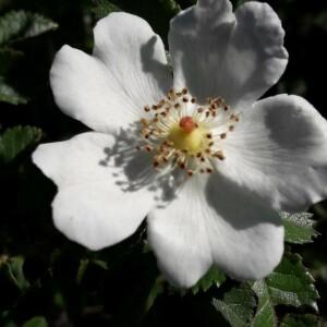 Photographie n°2416841 du taxon Rosa canina L. [1753]