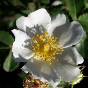 Photographie n°2416842 du taxon Rosa canina L. [1753]