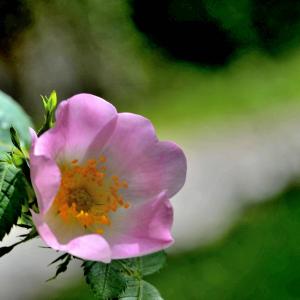 Photographie n°2417444 du taxon Rosa canina L. [1753]