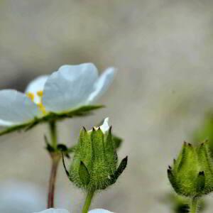 Photographie n°2417567 du taxon Ranunculus aconitifolius L. [1753]