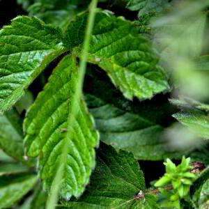 Photographie n°2417570 du taxon Ranunculus aconitifolius L. [1753]