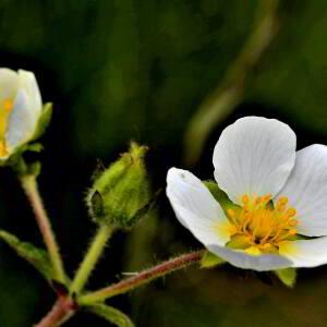 Photographie n°2417571 du taxon Ranunculus aconitifolius L. [1753]