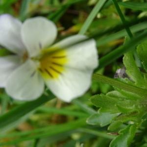 Photographie n°2417753 du taxon Viola arvensis Murray [1770]