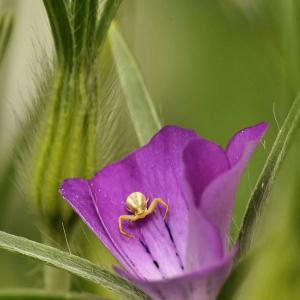 Photographie n°2417890 du taxon Agrostemma githago L. [1753]