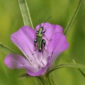 Photographie n°2417893 du taxon Agrostemma githago L. [1753]