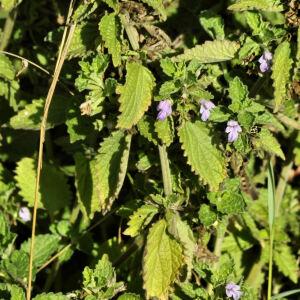 Photographie n°2417956 du taxon Ballota nigra subsp. foetida (Vis.) Hayek [1929]