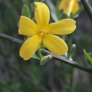Photographie n°2418385 du taxon Jasminum fruticans L. [1753]