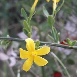 Photographie n°2418386 du taxon Jasminum fruticans L. [1753]